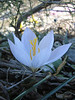 Crocus cancellatus ssp. mazziaricus (Between Kalamaki and Volos)