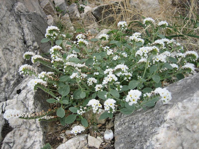 Habitat of Heliotropium europaeum (NL: Europese heliotroop)(near Kastri, between Agia and Volos)