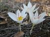 Crocus hadriaticus ssp. parnassicus (near Delphi)