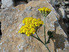 Achillea holoserica ( endemic )(between Refuge A and Prionia, Mount Olympus)
