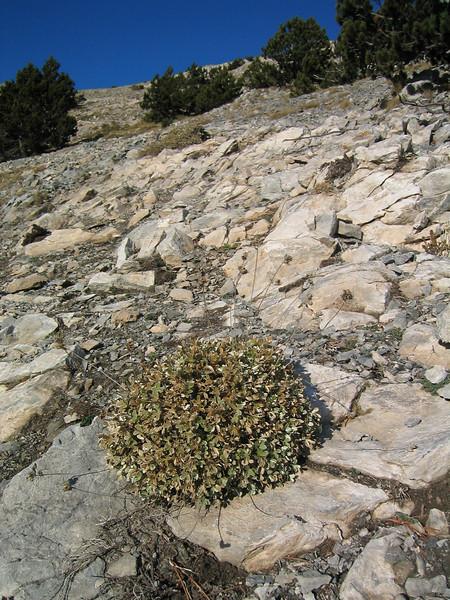 Potentilla deorum (endemic to Mount Olympus)(near Mytikas, Mount Olympus)