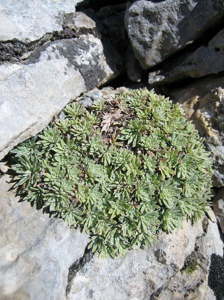 Saxifraga sempervivum (1200 - 2200m. on Mount Olympus)