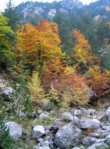 autumn coloured forest (between Refuge A and Prionia, Mount Olympus)