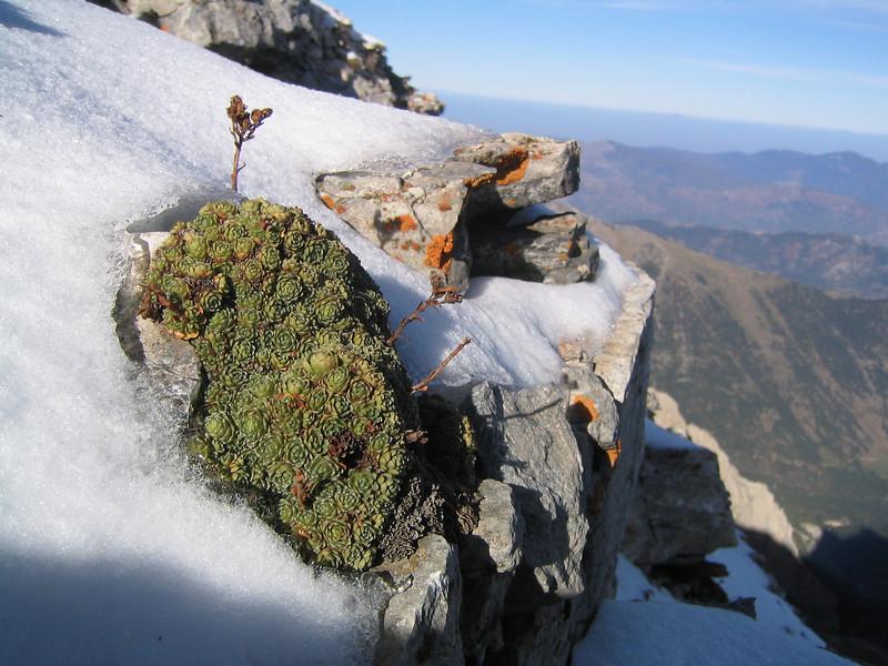 Saxifraga spruneri (between Refuge A and Mytikas, Mount Olympus)