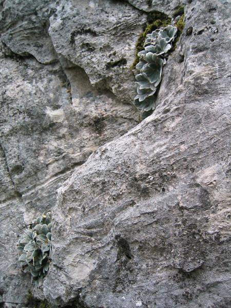 Jankaea heldreichii (Habitat on Mount Olympus)