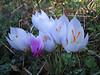 Crocus robertianus and Cyclamen hederifolium ssp. hederifolium (Southern Pindus)