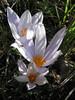 Crocus robertianus (Southern Pindus)