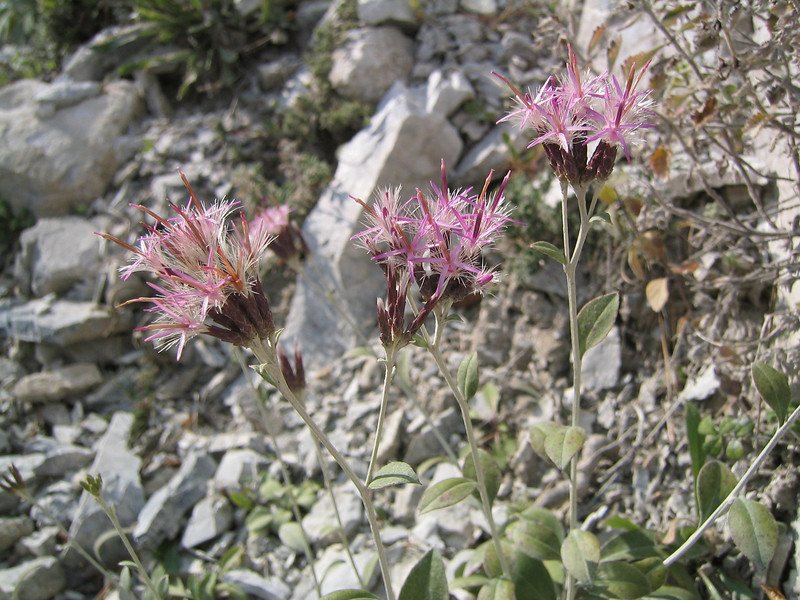 Staehelina uniflosculosa (endemic to Mount Olympus)(Between Litochoro and Prionia at the foot of Mount Olympus)