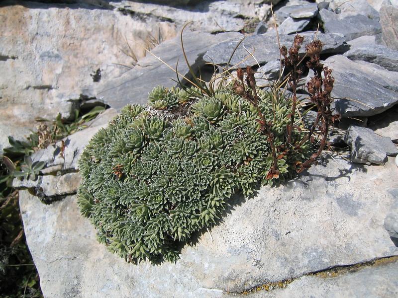 Saxifraga scardica (Mount Olympus)