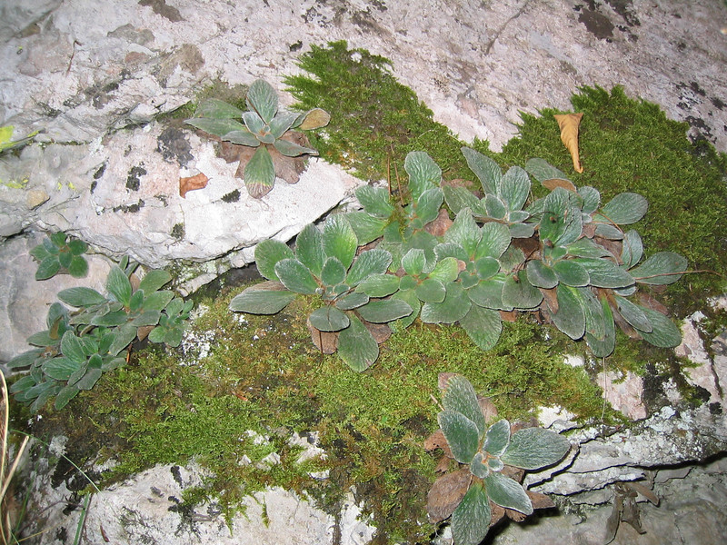 Jankaea heldreichii (between Refuge A and Prionia, Mount Olympus, grows on shadowed places)