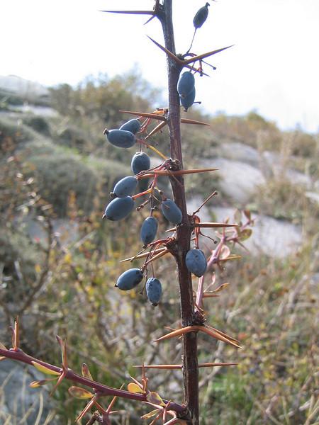 Berberis cretica (Ossa )