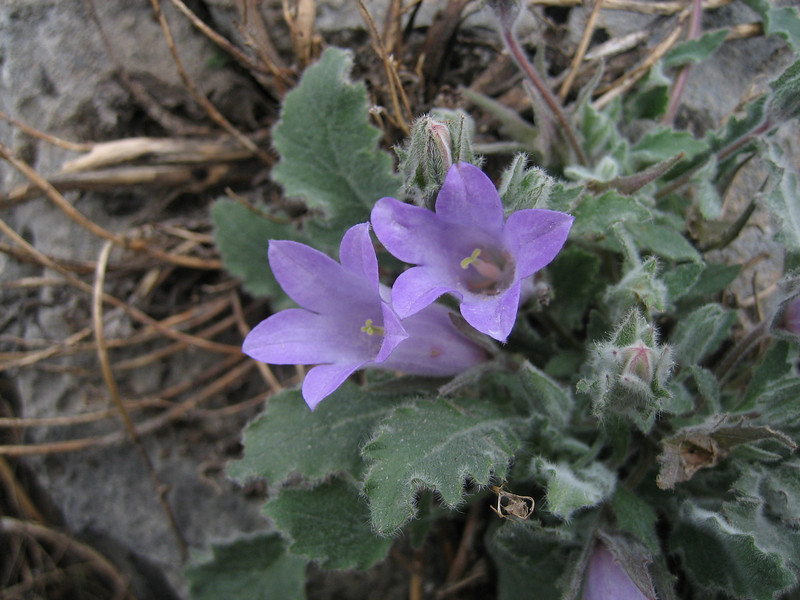 Campanula thessala (monocarpic bellflower)(near Kastri, between Agia and Volos)