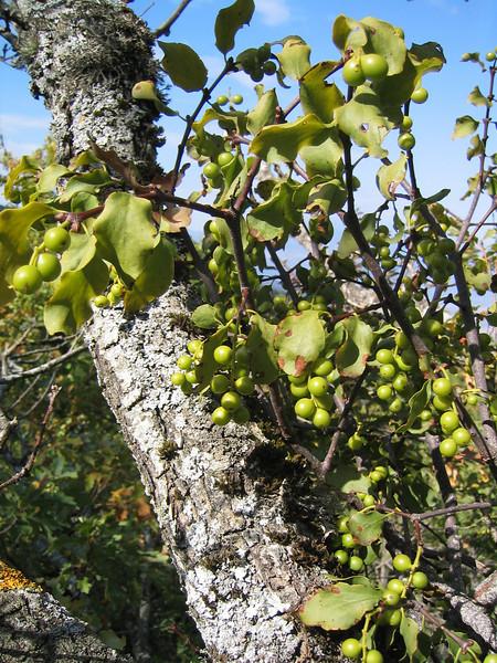 Loranthus europaeus on Castanea sativa (NL: Maretak)(lower slopes of Mount Ossa)
