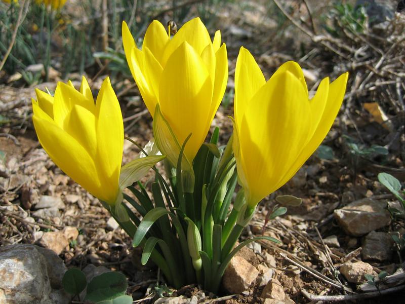Sternbergia lutea (Delphi)