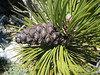 pinecone of Pinus heldreichii (NL: Griekse den)(between Refuge A and Mytikas, Mount Olympus)