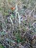Spiranthes spiralis (Orchid, Parnassos Delphi )