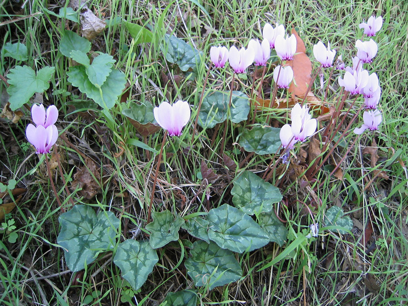 Cyclamen hederifolium ssp. hederifolium (lower slopes of Mount Ossa)