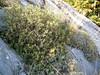 Daphne oleoides and Astragalus angustifolius (Mount Ossa)