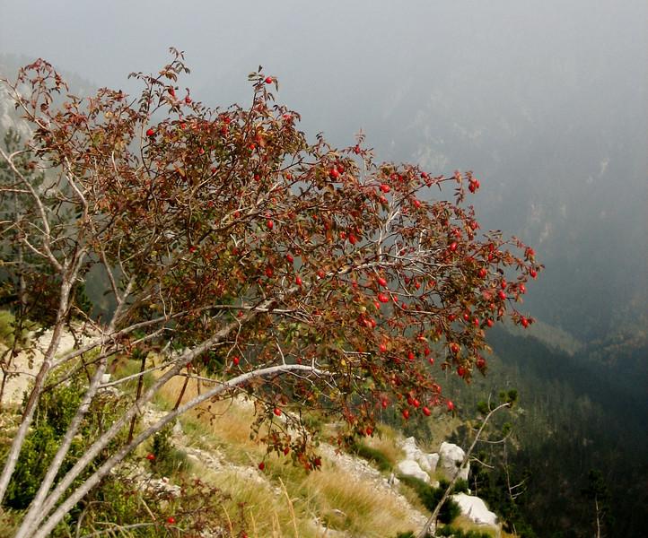 Rosa spec. (Mount Olympus)