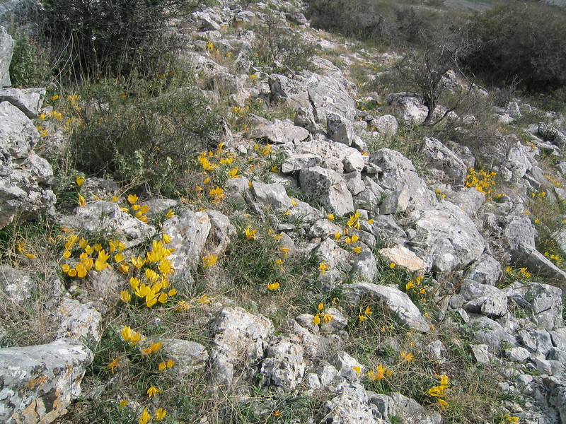 Sternbergia lutea or Sternbergia sicula (near Kastri, between Agia and Volos)