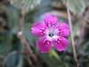 Dianthus spec. (Mount Ossa)