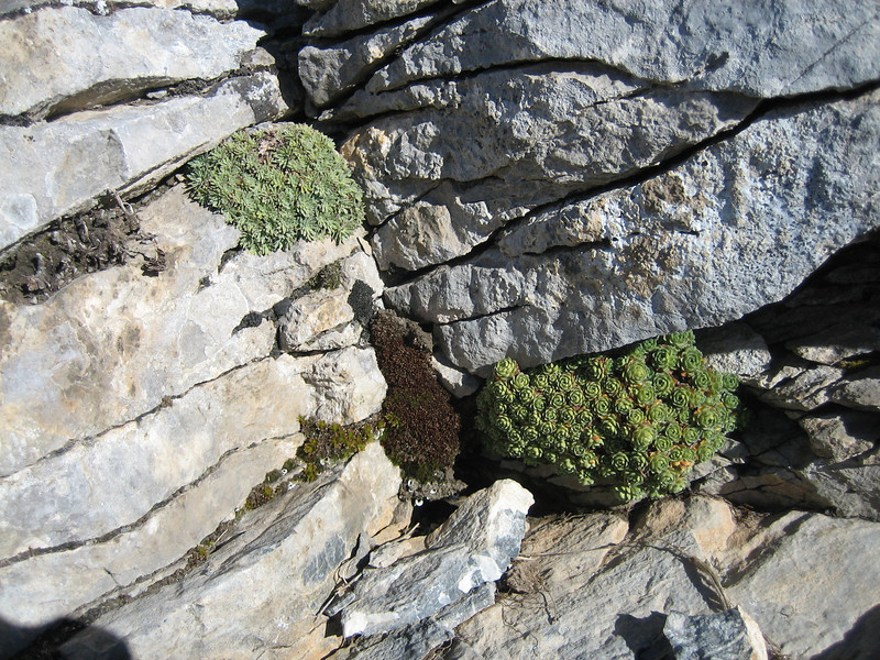 Saxifraga sempervivum and Saxifraga spruneri