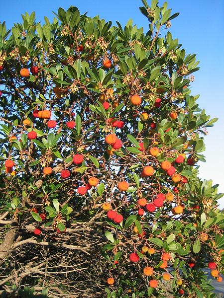 Arbutus unedo (NL: Aardbeiboom)(Pilion)