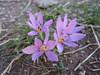 Colchicum cupanii (Parnassos Delphi )