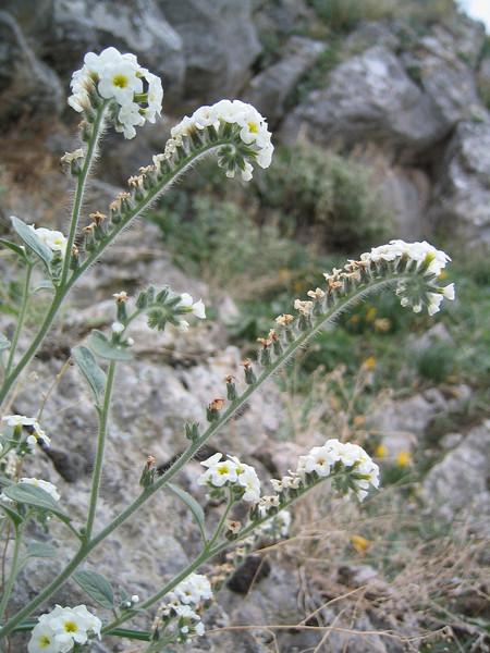 Heliotropium europaeum (NL: Europese heliotroop)(near Kastri, between Agia and Volos)