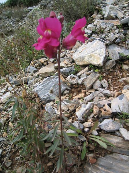 Antirrhinum majus (NL: Leeuwenbek)(Between Litochoro and Prionia at the foot of Mount Olympus)