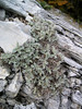 Astragalus angustifolius (Mount Ossa)