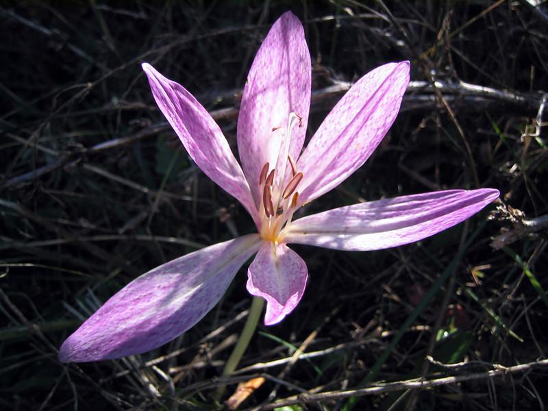 Colchicum bivonae (Mount Parnassos)