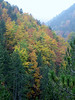 autumn coloured forest of Fagus sylvatica (between Refuge A and Prionia, Mount Olympus)