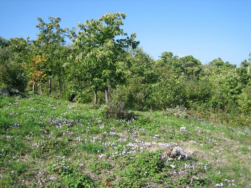 Cyclamen hederifolium ssp. hederifolium (lower slopes of Mount Ossa)