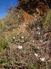 Crocus cancellatus ssp.mazziaricus (Pilion)