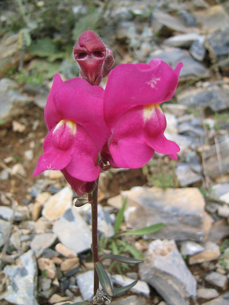 Antirrhinum majus (NL: Leeuwenbek)(Between Litochoro and Prionia at the foot of Mount Olympus)