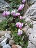 Cyclamen hederifolium ssp. hederifolium (Mount Ossa)