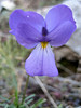 Viola spec. (near refuge A, Mount Olympus)