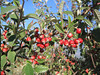 Cotoneaster nebrodensis (Parnassos)