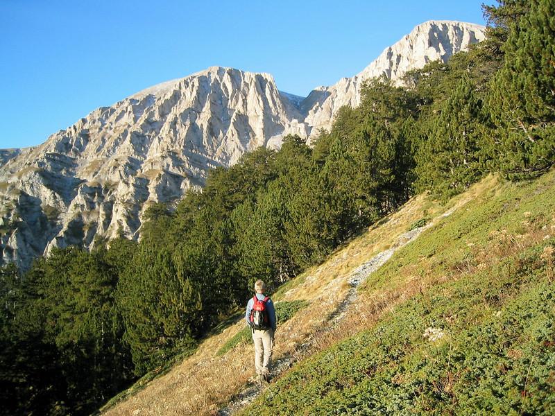 Pinus nigra, or possibly P. heldreichii (between Refuge A and Mytikas, Mount Olympus)