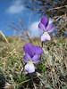 Viola spec. (Mount Ossa)