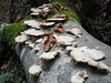 fungus  (lower slopes of Mount Olympus)