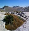 Dianthus haematocalyx and  Daphne spec. (Parnassos mountains)