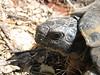 Testudo hermanni?, (NL: Griekse landschildpad)? (near Delphi)