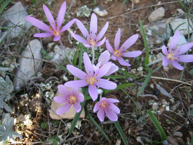 Colchicum cupanii (near Kalamaki)