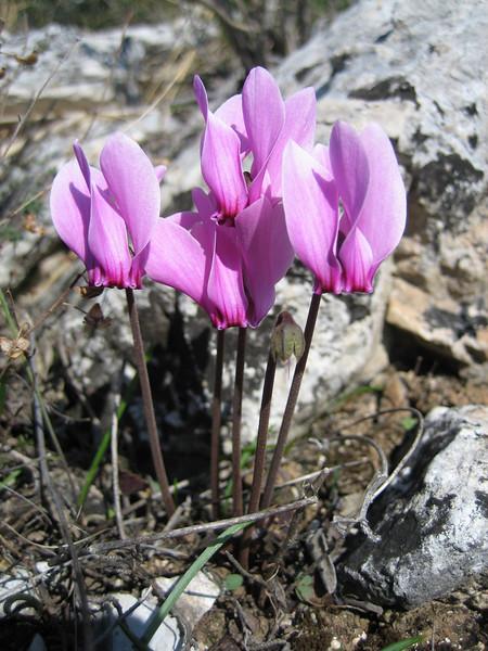 Cyclamen graecum ssp. graecum (Between Kalamaki and Volos)