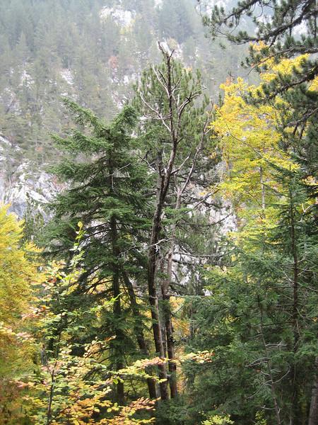 Pinus heldreichii (NL: Griekse den)