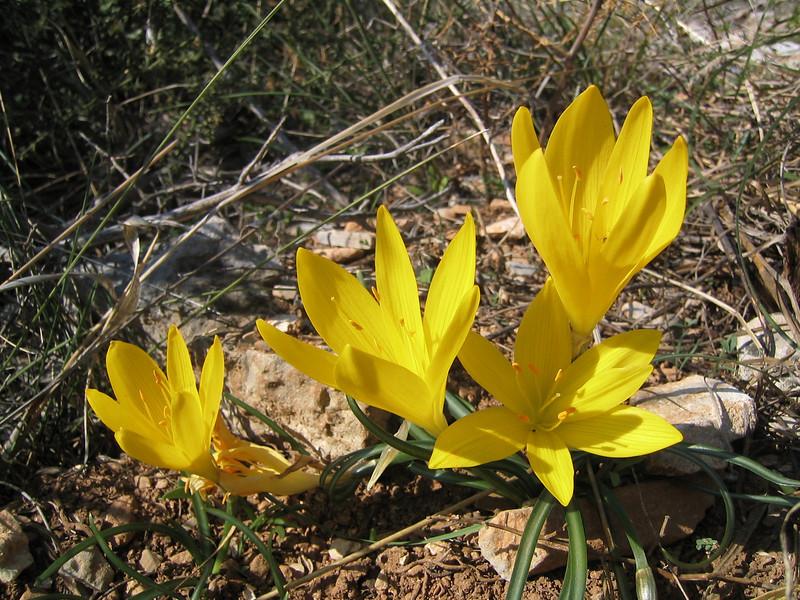 Sternbergia lutea (Pilion)