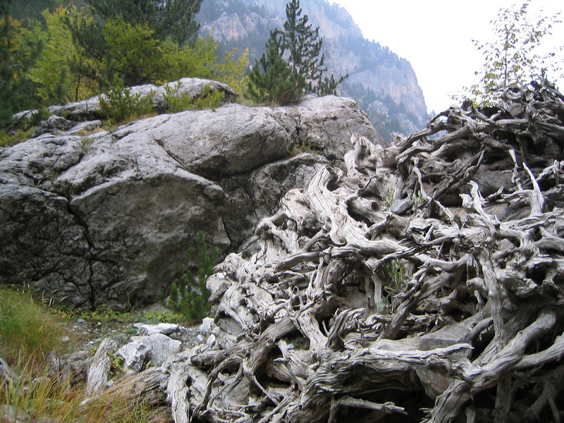 Roots of a death tree, Mount Olympus area