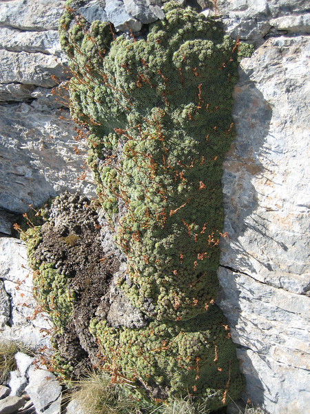 Saxifraga spruneri (between Refuge A and Mytikas, Mount Olympus)